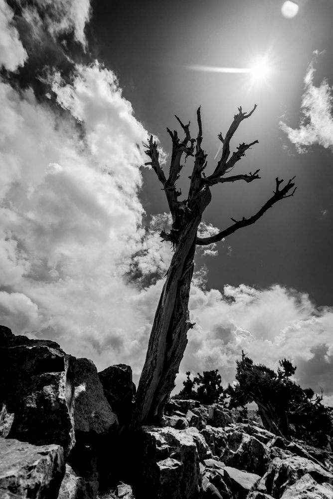 Black and white tree, high Atlas mountain