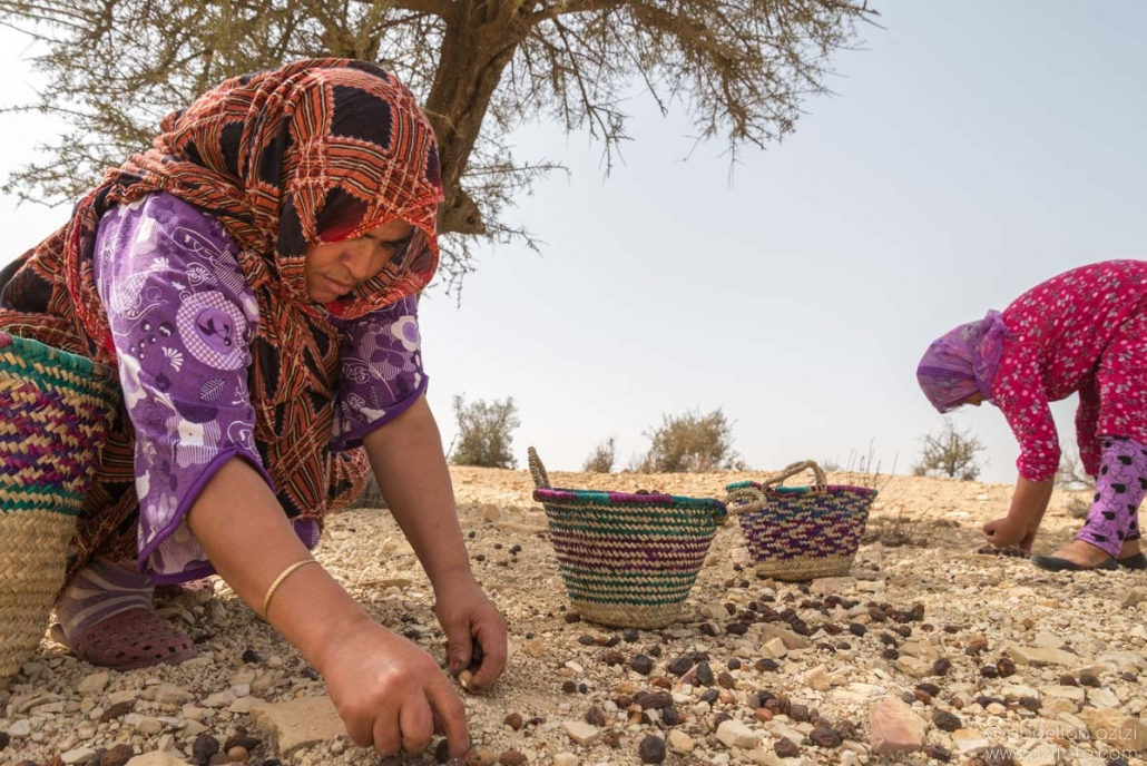 Picking Argan nuts - AGadir