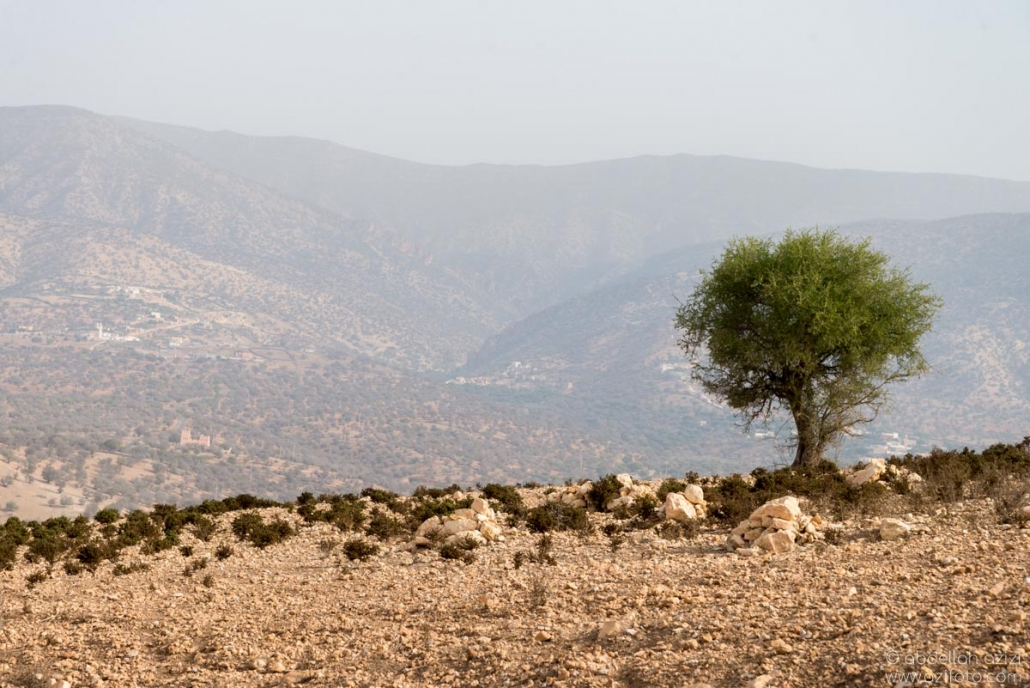 Argan Tree - Agadir region