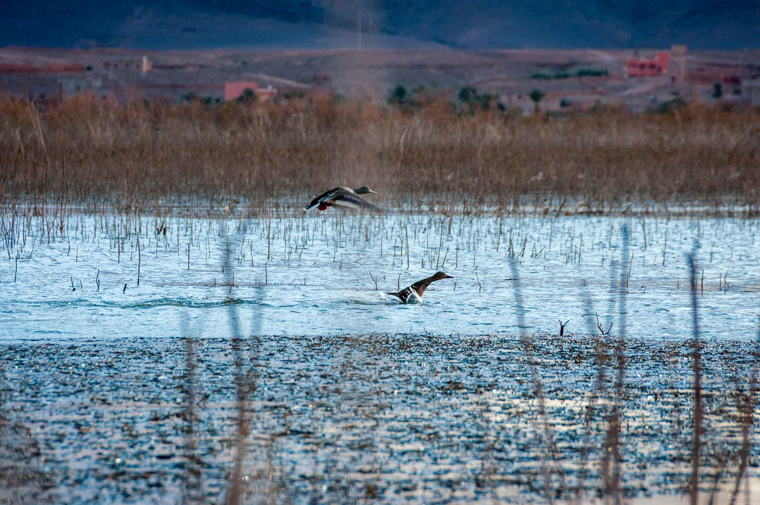 Birds at ouarzazate lake