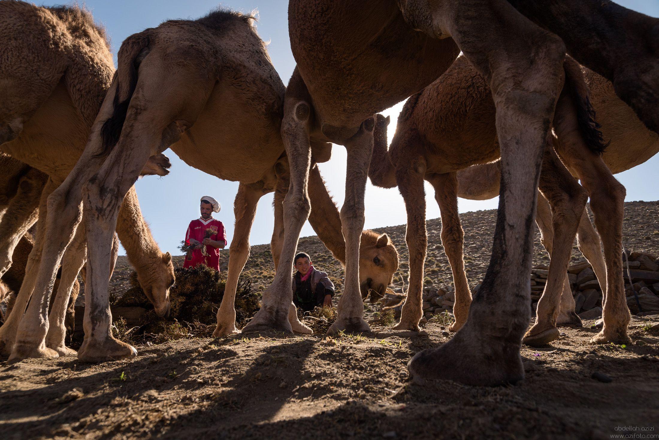 Feeding camels - Ait Atta Nomads