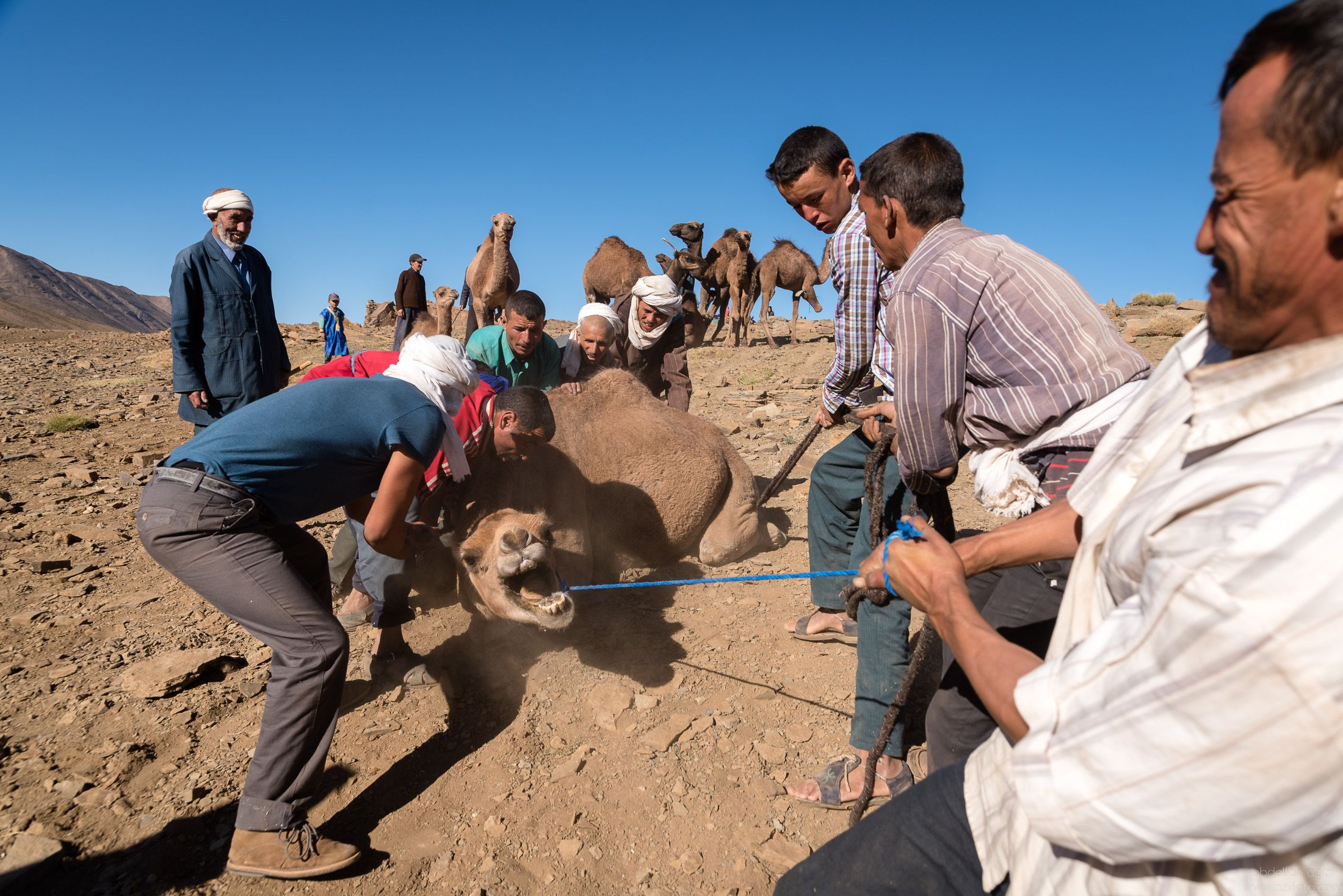 Loading camels to truck _ Ait Atta Nomads