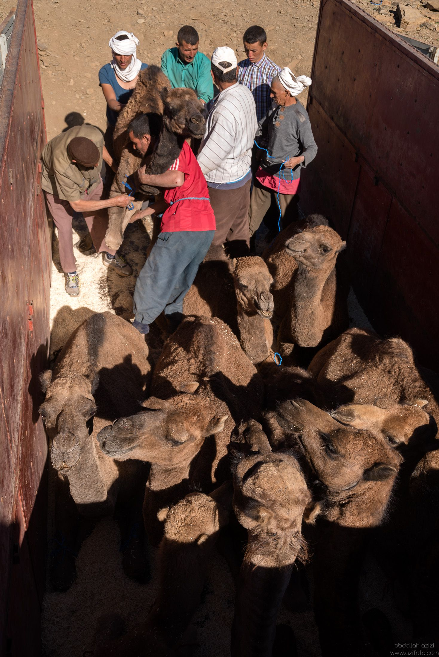 Loading camels to truck