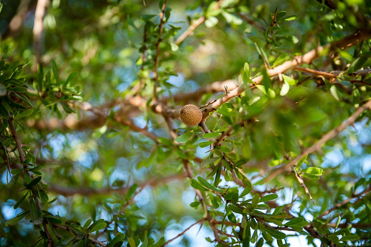 Green Argan nut on the tree reportage