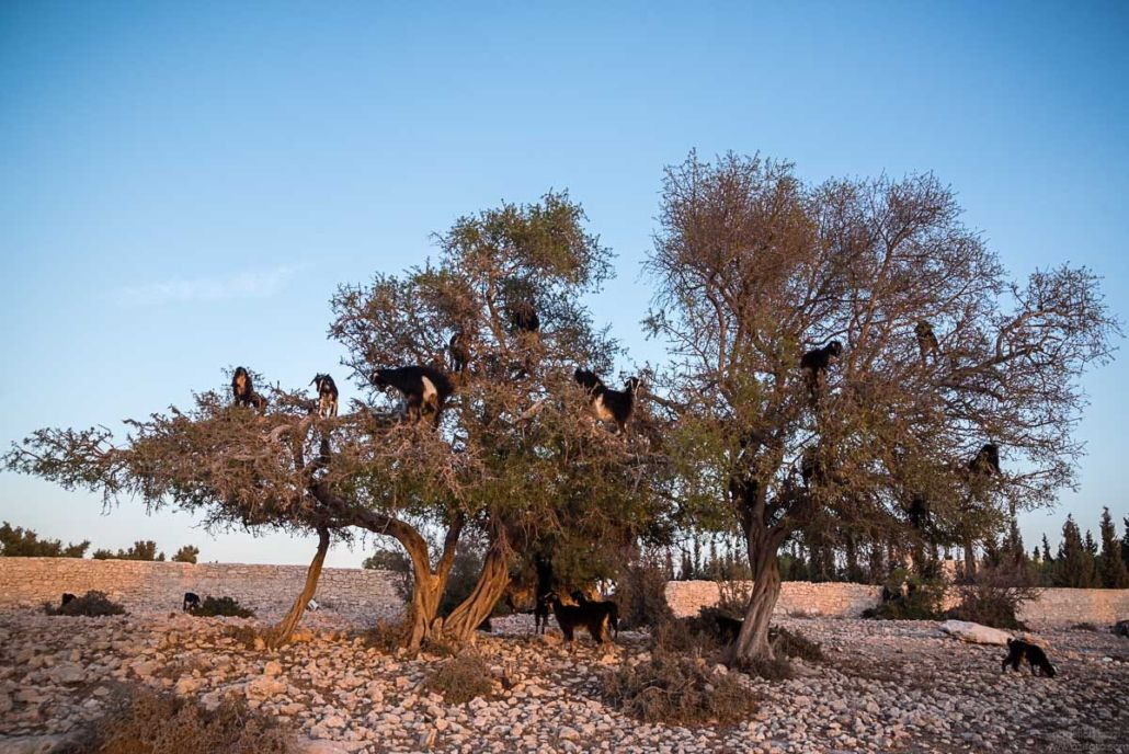 Goats climbing Argan tree - Essaouira, Morocco