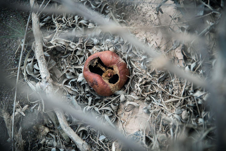 pomegranate - Djebel saghro - Winter