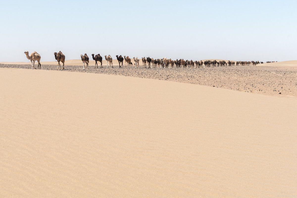Camels caravan - Morocco