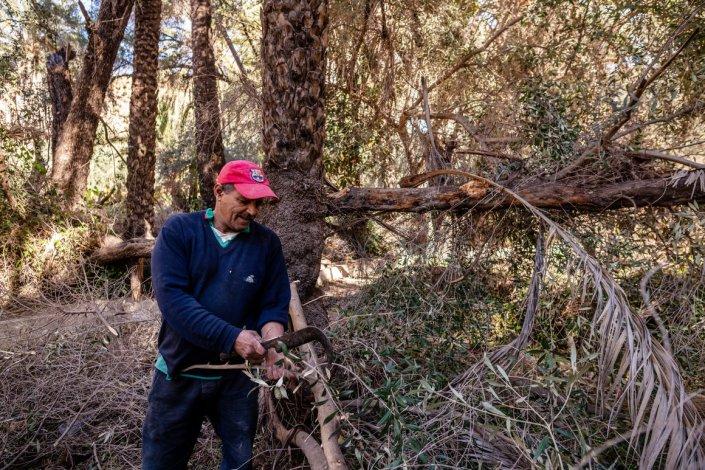 Farmer cutting dead Tamzargot forest, Agadir province, Morocco.