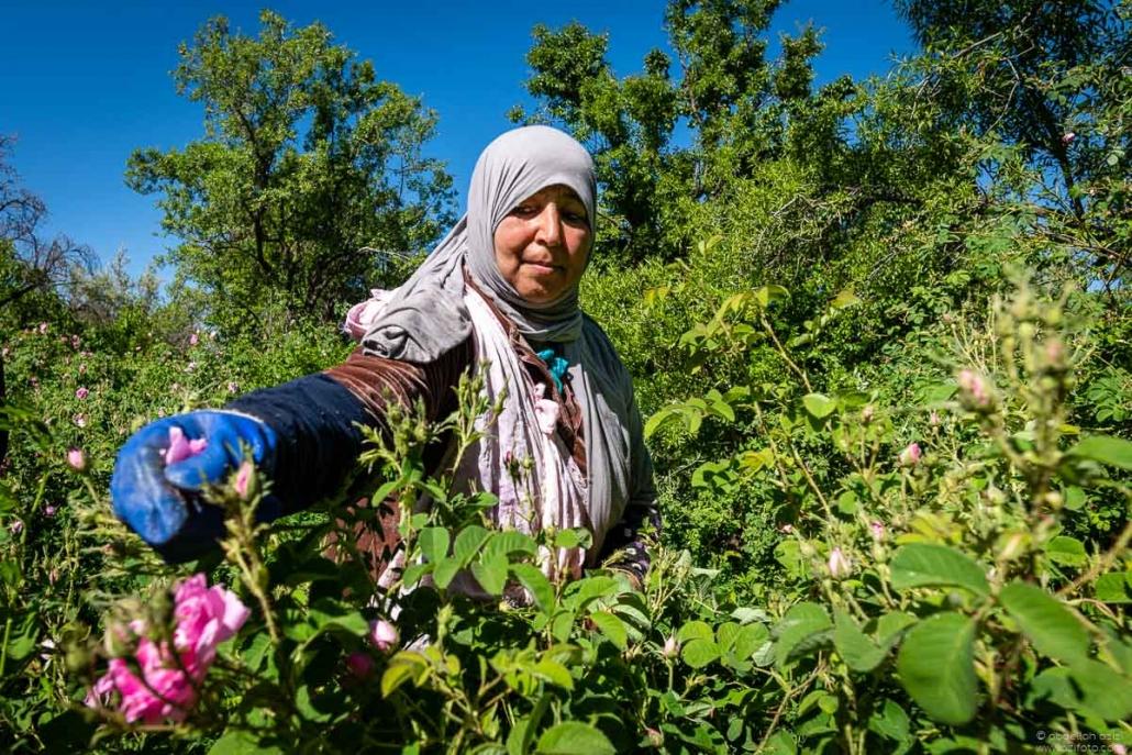 Woman picking roses - Kalaat Mgouna