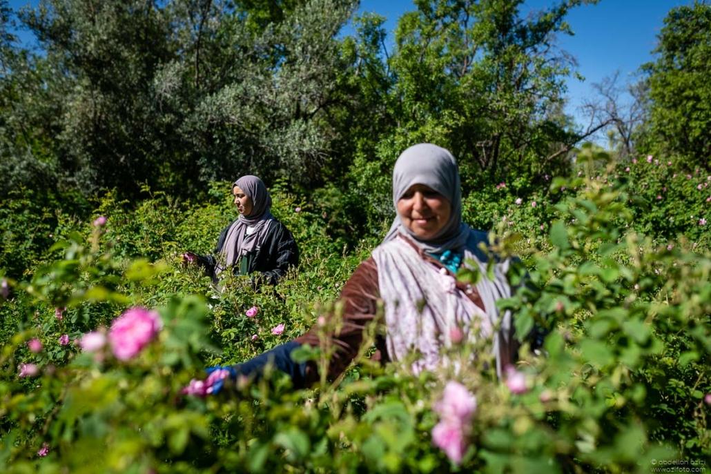Girl picking roses - Kalaat Mgouna fields