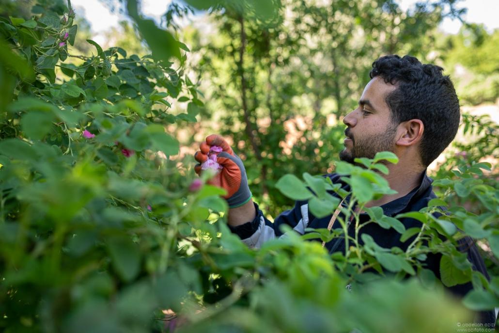 Man picking roses