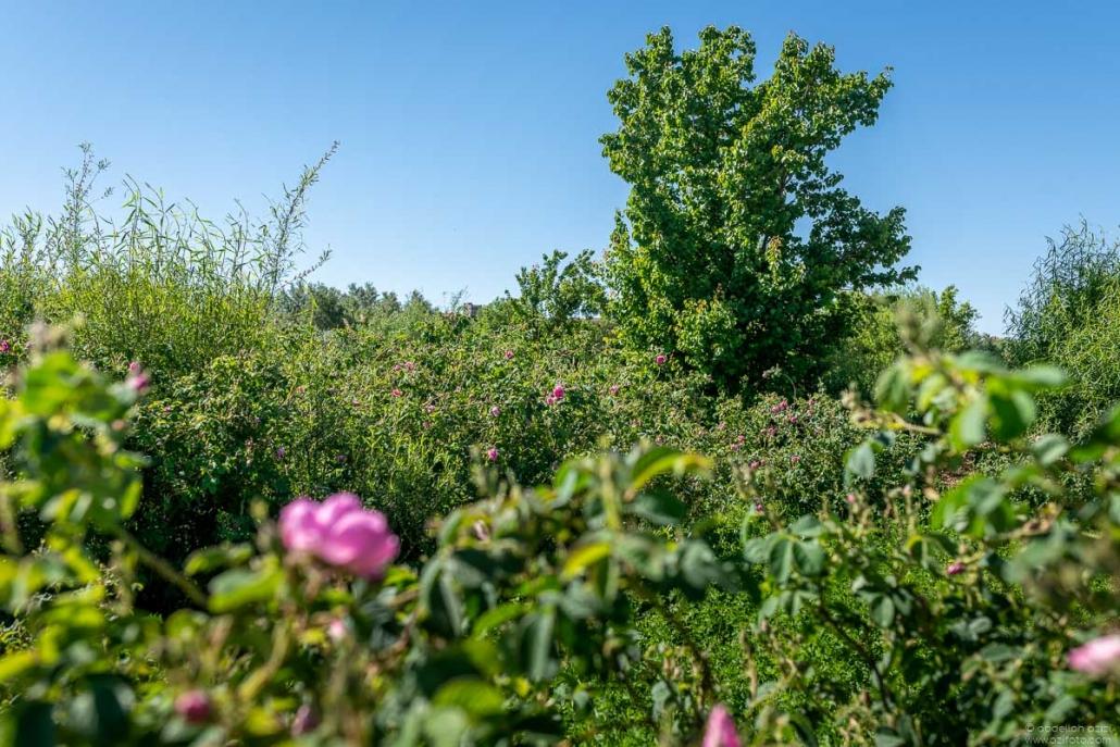 Roses fields - Kalaat Mgouna Morocco