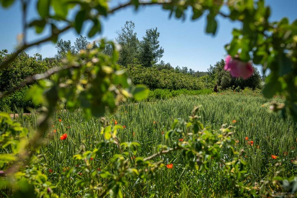 Roses fields, Kalaat Mgouna